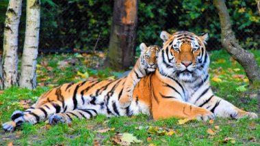 International Tiger Day 2019: দেশে বাঘেদের সংখ্যা ৭০০টি বেড়েছে, ঘোষণা প্রধানমন্ত্রী নরেন্দ্র মোদির