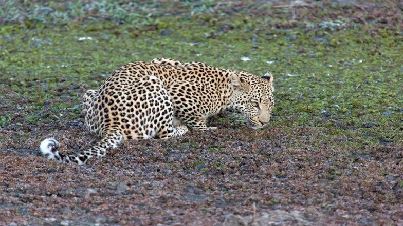 Leopard Attack: ভাইরাল ভিডিও- ছবি তুলতে গিয়ে চিতার আক্রমণে আহত এক ব্যক্তি