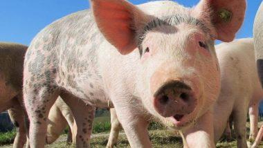 Swine Flue: চীন জুড়ে মাথাচারা দিয়েছে Swine Fever; মাথায় হাত শূকর চাষীদের