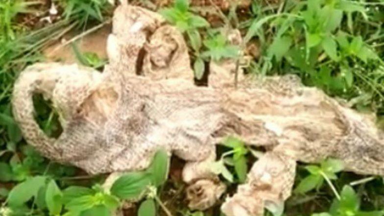 পৌরণিক সর্প! সাত মাথা বিশিষ্ট সাপের খোলস দেখে বেঙ্গালুরুতে হইচই (দেখুন ভিডিও)