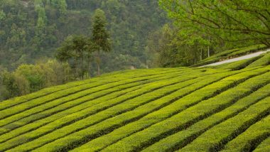 Darjeeling Tea Get GI Tag: রসগোল্লার পর জিআই তকমা পেল দার্জিলিঙের সাদা ও সবুজ চা