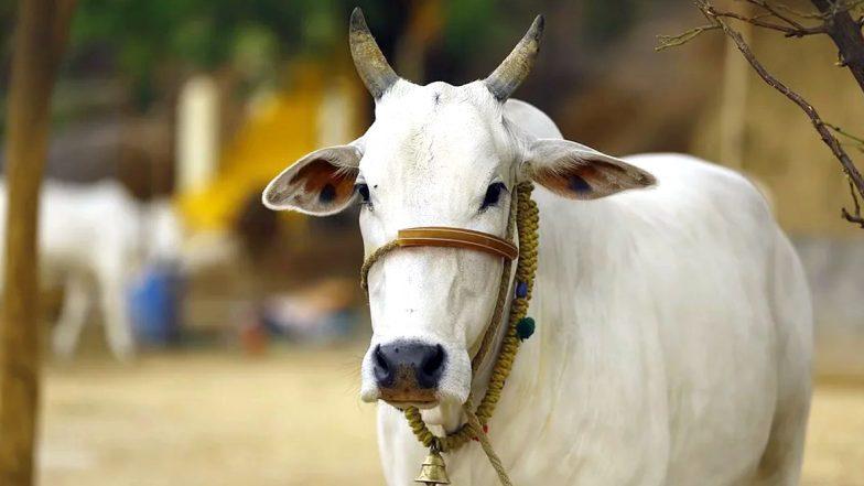 Viral: টানা দু' মাস সমুদ্রে সাঁতরে প্রাণ বাঁচিয়ে বাড়ি ফিরল হারিয়ে যাওয়া ৩ গরু