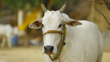Youths Wants Gold Loan Against Cows: দিলীপ ঘোষের সোনা তত্ত্বে বিশ্বাস, গোল্ড লোন পেতে গোরু নিয়ে হাজির কয়েকজন যুবক