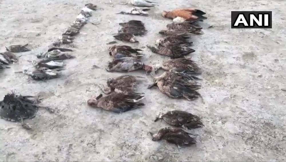 Rajasthan Migratory Birds Death: রাজস্থানের সম্ভর লেকে উদ্ধার হাজারও পরিযায়ী পাখির দেহ, মৃত্যুর কারণ নিয়ে শোরগোল