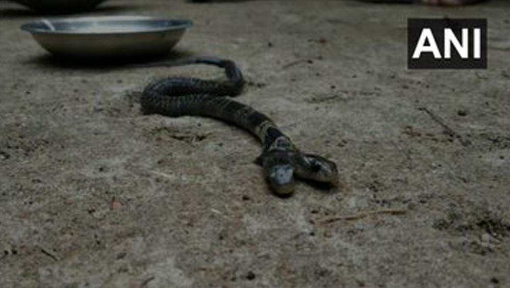Two-Headed Snake Found: সাতসকালে গ্রামের পথে দুমুখো সাপ, শোরগোল বেলদায়
