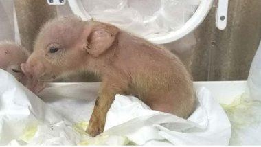 Two Pigs With Monkey Cells: প্রাণী বিজ্ঞানের যুগান্তকারী ঘটনা, হনুমানের কোষ থেকে শূকর ছানার জন্ম হল চিনে