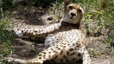African Cheetah: ছাড়পত্র সুপ্রিম কোর্টের, ভারতে শিগগিরই দেখা মিলবে আফ্রিকান চিতার