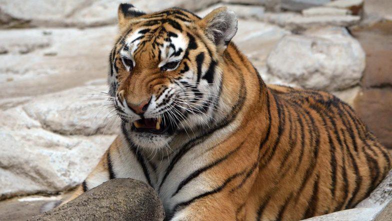Tiger Fear in Konnagar: রাতের অন্ধকারে রাস্তায় ঘুরছে অজানা প্রাণী, বাঘের আতঙ্কে কাঁপছে কোন্নগর