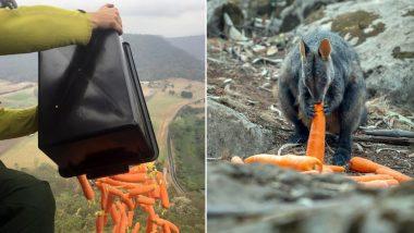 Australia Bushfire Crisis: আকাশ ঝড়ে পড়ছে গাজর-মিষ্টি আলু! অস্ট্রেলিয়ার দাবানলে দুর্গত পশুদের এভাবেই সরবরাহ করা হল খাবার
