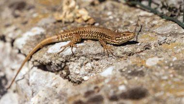 Lizard In Mid Day Meal: মিড ডে মিলের খিচুড়িতে টিকটিকি! ধুন্ধুমার ভাঙড়