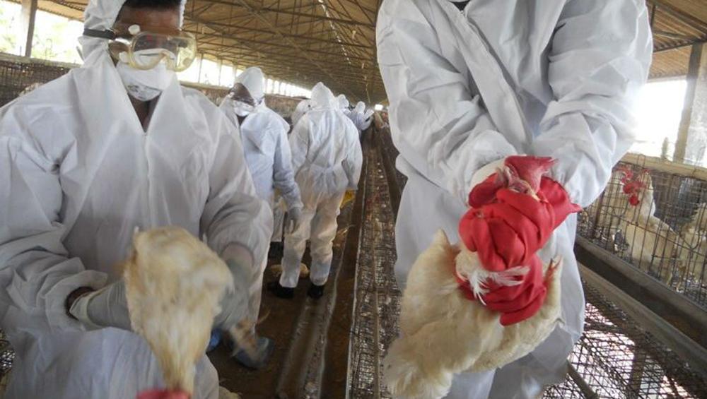 Bird Flu: চেক প্রজাতন্ত্রে বার্ড-ফ্লুর চোখ রাঙানি, সংক্রামিত লক্ষাধিক মুরগী