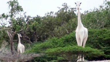 White Female Giraffe: চোরাশিকারিদের হাতে প্রাণ হারাল মা-শিশু, বিশ্বে অস্তিত্ব রয়েছে আর ১টি সাদা জিরাফের