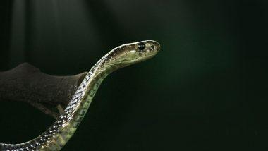 Cobra Rescued: চার ফুটের লম্বা কোবরা খেলে তিন ফুটের লম্বা কোবরাকে, দেখুন বিরল ছবি
