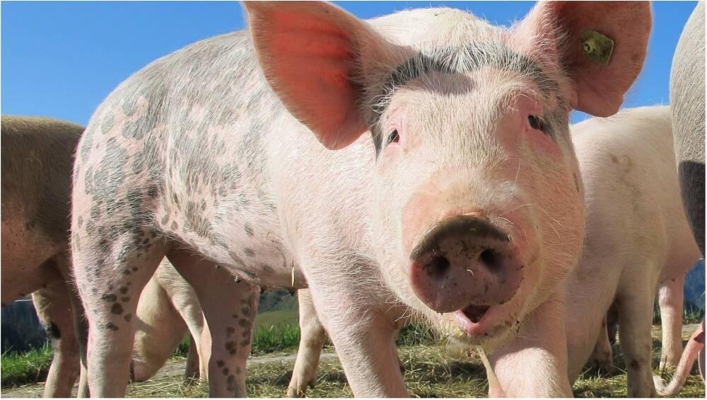 African Swine Flu: করোনাভাইরাসের মাঝেই আতঙ্ক বাড়াচ্ছে আফ্রিকান সোয়াইন ফ্লু