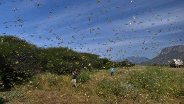 Locust Invasion in India: পঙ্গপালের হানায় নাজেহাল রাজস্থান-মধ্যপ্রদেশবাসী, ড্রোন স্প্রে, সাইরেন বাজিয়ে চলছে তাড়ানোর প্রস্তুতি