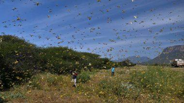 Locust Attack: পাকিস্তানের সিন্ধুপ্রদেশ থেকে ঝাঁকে ঝাঁকে উড়ে আসছে পঙ্গপাল, বিপুল ক্ষতির মুখে রাজস্থানের কৃষকরা