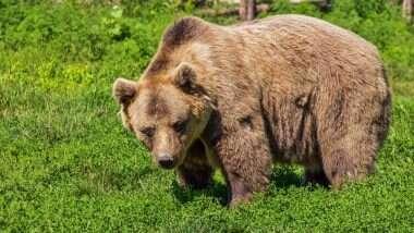 Bear Sentenced to Death: দুই ব্যক্তিকে আক্রমণ করার অপরাধে ভাল্লুকের মৃত্যুদণ্ড