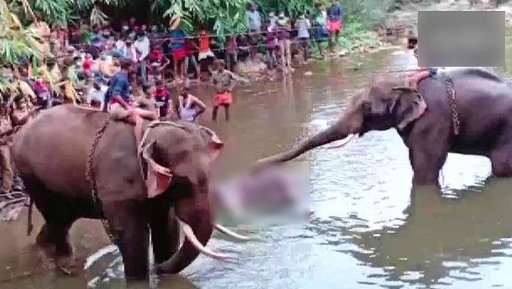 Pregnant Elephant Death: কেরালায় অন্তঃসত্ত্বা হাতি মৃত্যুর ঘটনায় গ্রেপ্তার ১ অভিযুক্ত