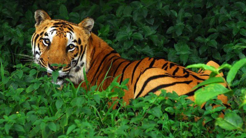 International Tiger Day 2020: ২৯ জুলাই আন্তর্জাতিক ব্যাঘ্র দিবস, বাঘ সম্পর্কে ১০ টি অজানা তথ্য