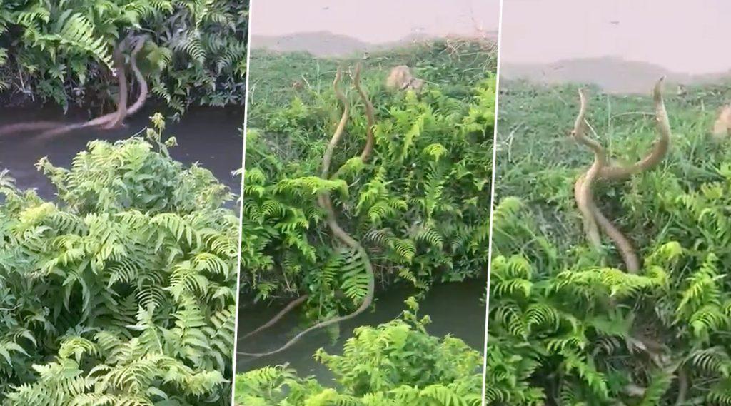 Two Snakes Fight Video: এলাকার দখল নিয়ে দুটি র্যাট স্নেকের লড়াই, ভাইরাল ভিডিয়ো
