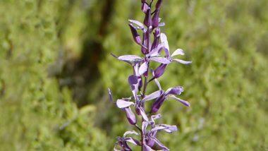 Rare Orchid Found: বিরল প্রজাতির অর্কিড পাওয়া গেল উত্তর প্রদেশের দুধওয়া জাতীয় উদ্যানে