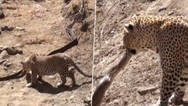 Leopard Attacking The Dangerous Snake: লেপার্ড-অজগরের ভয়ঙ্কর লড়াই, দেখুন হাড়হিম করা ভিডিও