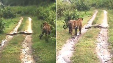 Tiger vs Python: বাঘের রাস্তা আটকে মস্ত অজগর, এরপর কী হল?