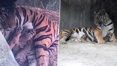 Royal Bengal Tiger Cubs: রয়্যাল বেঙ্গল টাইগারের বংশবৃদ্ধি, আজই শিলিগুড়ির বেঙ্গল সাফারিতে জন্ম নিল তিনটি ব্যাঘ্র শাবক