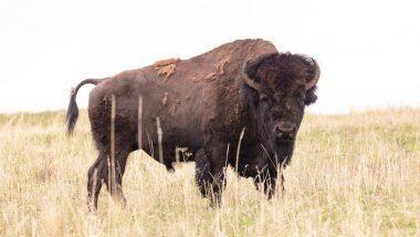 Bison killed At Gorumara forest: গোরুমারায় বাইসন মেরে খাওয়া হল মাংস! ধৃত ১