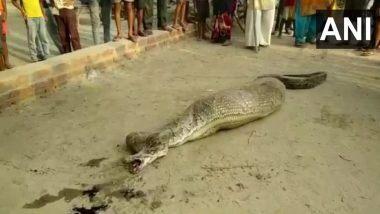 Python Rescued From UP: ছাগল খেয়ে পেট ঢোল, নড়তে পারছে না অজগর