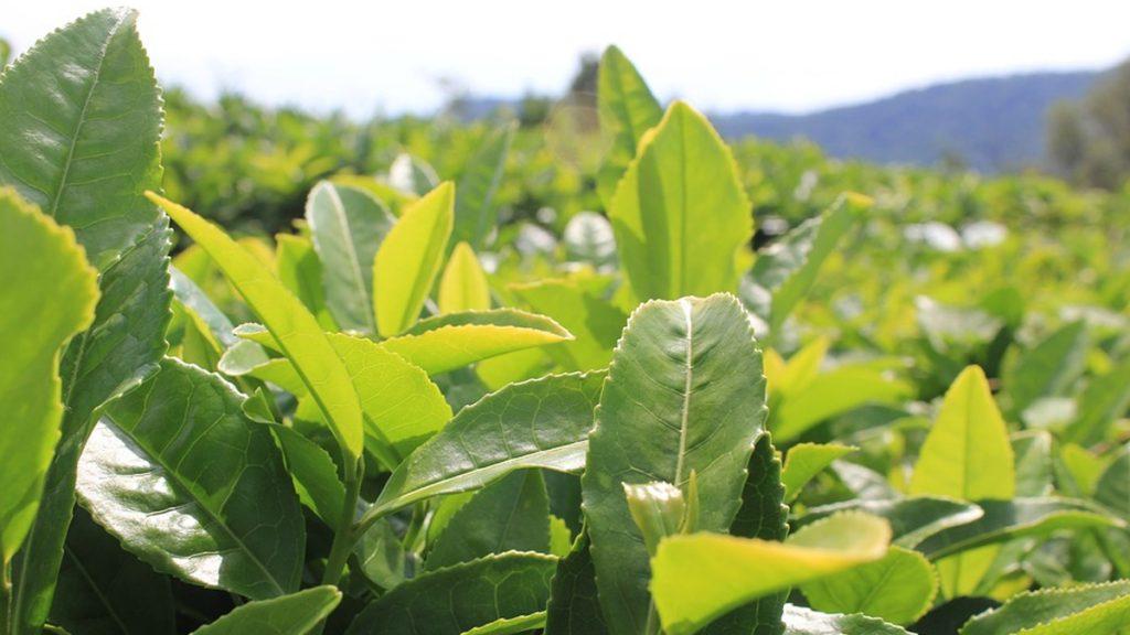 Rare Assam Tea Sold for Rs 75,000 Per KG: এক কিলো চায়ের দাম ৭৫ হাজার টাকা! বিক্রি হল আসামে