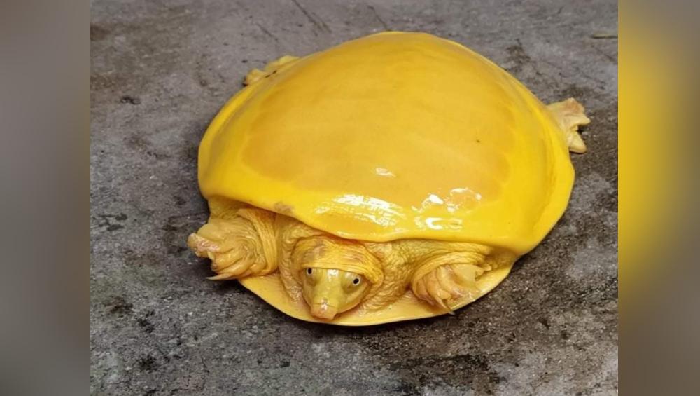 Bright Yellow Turtle: ওড়িশার পর এবার বর্ধমানের পুকুরে মিলল হলুদ রঙের বিরল প্রজাতির কচ্ছপ, দেখুন ছবি
