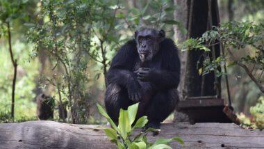 Chimpanzee 'Suzi' Death: মারা গেল হায়দরাবাদের নেহরু জুলজিকাল পার্কের একমাত্র শিম্পাঞ্জি সুজি