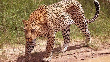 Leopard Attack in Maharashtra: চাষের জমিতে মর্মান্তিক মৃত্যু! লেপার্ডের হানায় থেঁতলে গেল বাবা-ছেলের দেহ