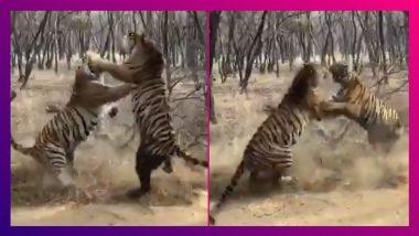 Two Tigers Fighting Video Goes Viral: গহীণ অরণ্যে চলছে বাঘের লড়াই, ভাইরাল ভিডিও