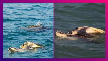 Olive Ridley Turtles in Bay of Bengal: জলপাই রঙের অতিকায় সামুদ্রিক কচ্ছপের দেখা মিলল বঙ্গোপসাগরে