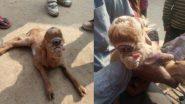 Goat Kid With Single Large Eye Socket: সদ্যোজাত ছাগলছানার কপালে তৃতীয় নয়ন! যোগীর রাজ্যে শোরগোল