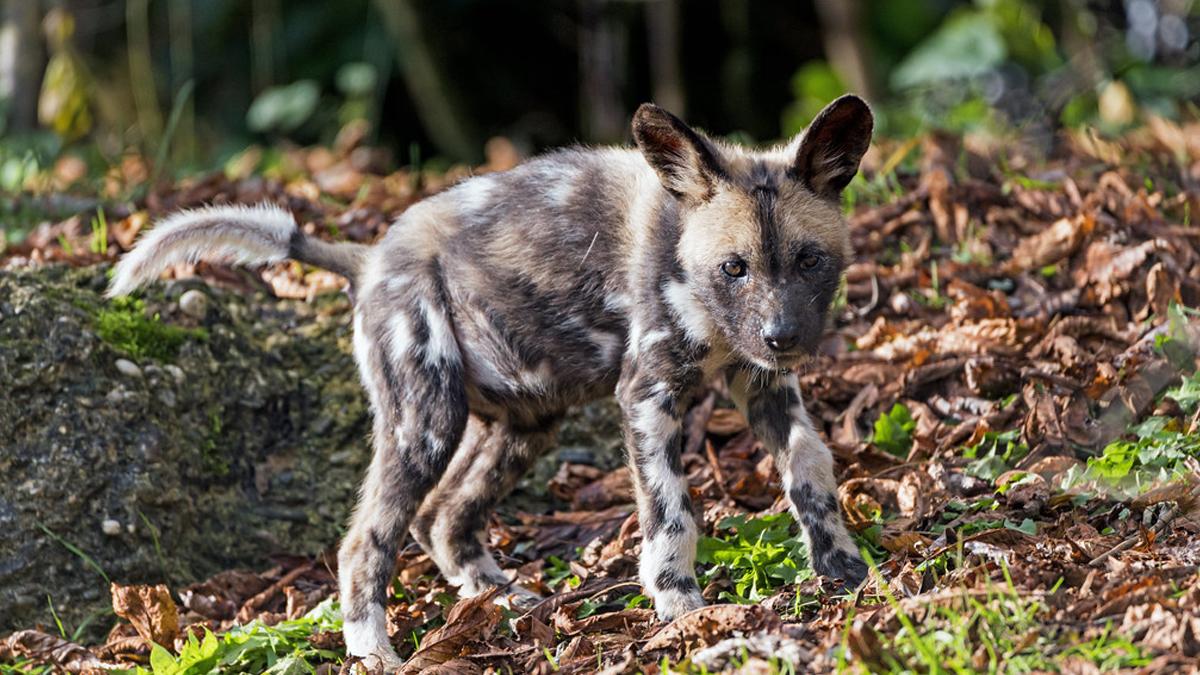 Alipore Zoo: বছর ৫০ পর আলিপুর চিড়িয়াখানাতে জন্ম নিল ২ বন্য কুকুর