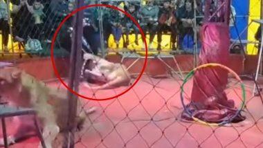 Lioness Attacks Trainer: সার্কাস চলাকালীন ট্রেনারের ওপর ঝাঁপিয়ে পড়ল ক্ষুব্ধ সিংহী, ভাইরাল ভিডিও