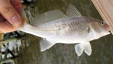 Pakistan: বিরল প্রজাতির ৪৮ কিলো মাছ বিক্রি হল ৭২ লক্ষ টাকায়!