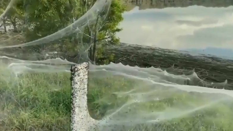 Massive Spider Web Blanket: নিরাপদ আশ্রয়ের খোঁজে বিশালাকার মাকড়সার জালের অদ্ভুত নিদর্শন নজর কাড়ল নেটিজেনদের