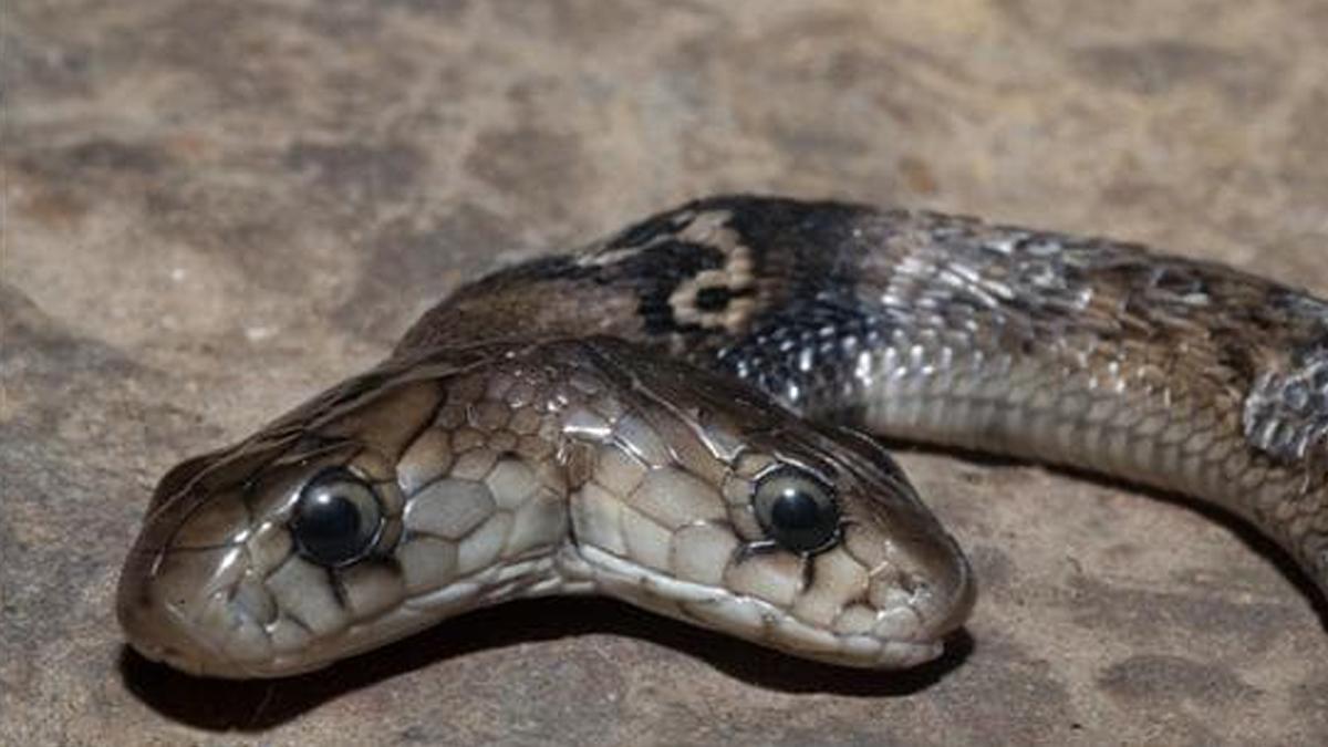 Two-Headed Cobra Rescued: দেরাদুনে বিরল দুই মাথার কোবরা সাপ উদ্ধার