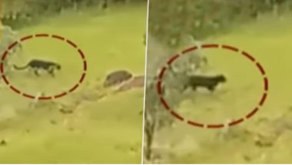 Rare Black Panther Spotted In Mahabaleshwar: প্রতাপগড় দুর্গ চত্বরে ঘুরছে বিরল প্রজাতির ব্ল্যাক প্যান্থার, ভাইরাল ভিডিও