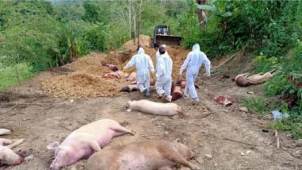 African Swine Fever: করোনার পর ভয়াবহ আফ্রিকান সোয়াইন ফ্লু, মিজোরামে মৃত্যু ২৫,২৬০টি শূকরের