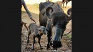 IVF Buffalo Calf Born: ভারতে প্রথম, আইভিএফ-র মাধ্যমে গুজরাতে জন্ম নিল মোষের বাচ্চা