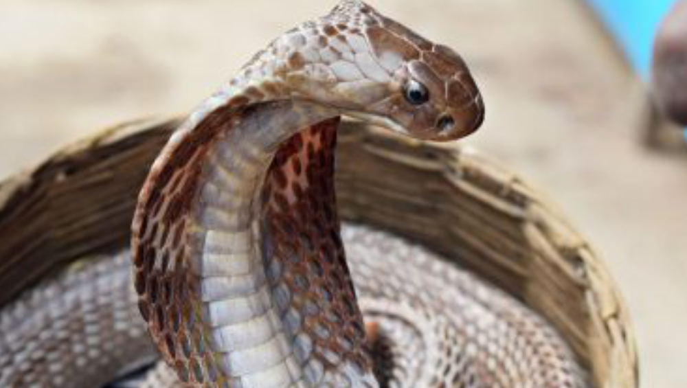 Murder Via Snake Bite: বিবাহ বহির্ভূত সম্পর্ক গোপন রাখতে বিষধর সাপের সহযোগিতায় খুন, কী বলল সুপ্রিম কোর্ট?
